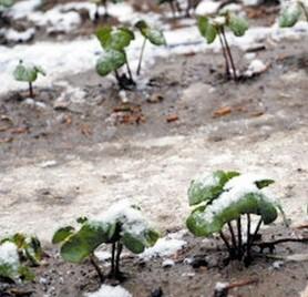新疆大风棉田受灾供需转向紧平衡